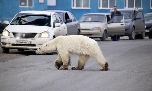 Con gấu tránh những chiếc xe chạy trên đường. Ảnh: Siberian Times.