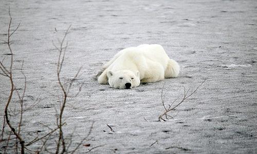 Gấu Bắc Cực lạc đường nằm nghỉ một lúc lâu trên nền đất. Ảnh: Siberian Times.