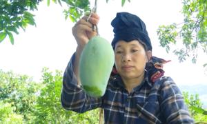 Sơn La lần đầu xuất khẩu xoài sang Anh