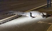 Cá sấu nặng hơn 2 tạ sang đường bị xe đâm trúng