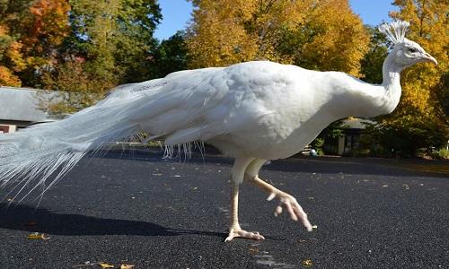 Công trắng Merlin ở vườn thú Utica. Ảnh: Facebook.