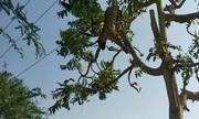 Mải săn mồi, báo hoa mai phơi xác trên dây điện