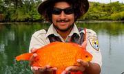 Cá vàng to bằng mèo con đe dọa loài bản địa ở Mỹ