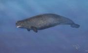 Bằng chứng đầu tiên về con lai giữa cá voi và kỳ lân biển