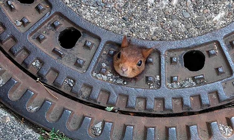 Giải cứu sóc đỏ kẹt đầu trong lỗ cống