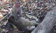 Khỉ con ôm xác, cố đánh thức khỉ mẹ chết vì nắng nóng