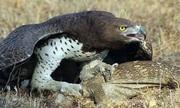 Đại bàng lớn nhất châu Phi không có đối thủ trong tự nhiên