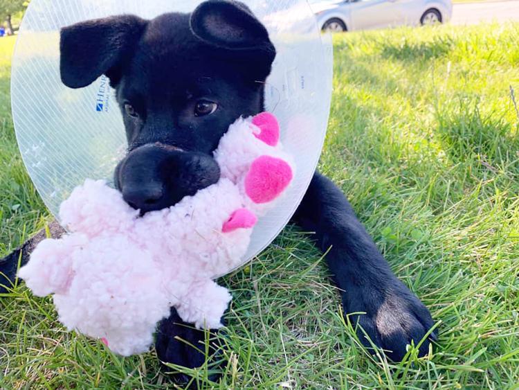 Chú chó con đang trong quá trình chăm sóc sức khỏe chờ phẫu thuật. Ảnh: Celestial Zoo.