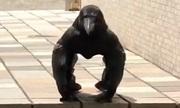 Quạ tạo dáng giống khỉ đột gây bão mạng