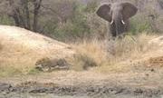 Bị voi rượt đuổi, báo hoa mai vuột mất linh dương
