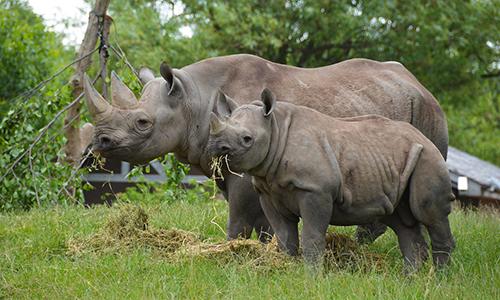 Số lượng tê giác đen Đông Phi chỉ còn dưới 1.000 con trên toàn thế giới. Ảnh: Flickr.