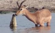 Thoát hàm cá sấu, linh dương bị chó hoang đón lõng trên bờ