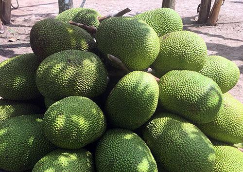 Mít Thái được thu hoạch tại một nhà vườn ở huyện Châu Thành (Hậu Giang). Ảnh: Cửu Long