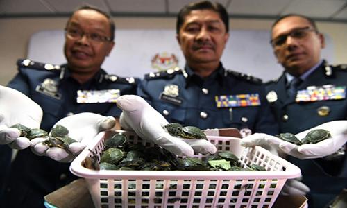 Malaysia phá vụ buôn lậu rùa tai đỏ tạisân bay Kuala Lumpur. Ảnh: AFP.
