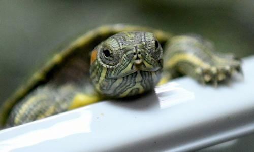 Rùa tai đỏ thường được buôn bán làm vật nuôi. Ảnh: AFP.