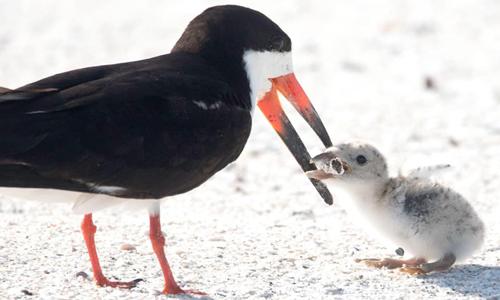 Chim xúc cá đen dùng mỏ mớm đầu thuốc lá cho con. Ảnh: Karen Mason.
