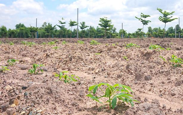 Sắn vừa được trồng trong khu đất được Alibaba bán hàng trăm nền. Ảnh: Nguyễn Khoa.