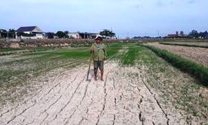 Hơn 1.000 ha lúa ở Quảng Trị chết khô vì nắng nóng