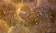 San hô từ chối trứng tôm, chọn ăn hạt vi nhựa
