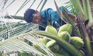 Trèo cây hái dừa kiếm gần triệu đồng mỗi ngày trong đợt nắng nóng
