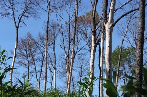 Nhiều cây thông cổ thụ cách lăng vua Gia Long 500 bị bóc vỏ chết khô. Ảnh: Võ Thạnh