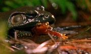 Sa giông sống sót bò ra từ bụng ếch sau khi bị nuốt trọn