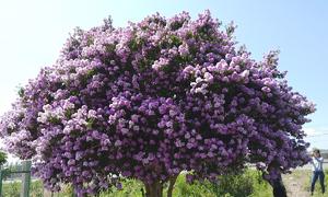 Cây bằng lăng nở hoa dày đặc ở Bình Thuận