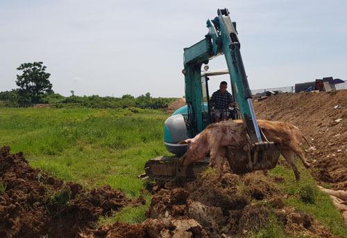 Tiêu hủy lợn bị bệnh tả châu Phi ở xã Thanh Bình (Chương Mỹ, Hà Nội) ngày 29/6. Ảnh: Tất Định