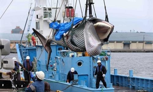 Con cá voi minke được kéo lên cảng Kushiro. Ảnh: Guardian.