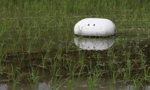 Robot vịt ngăn cỏ dại phát triển ở Nhật Bản