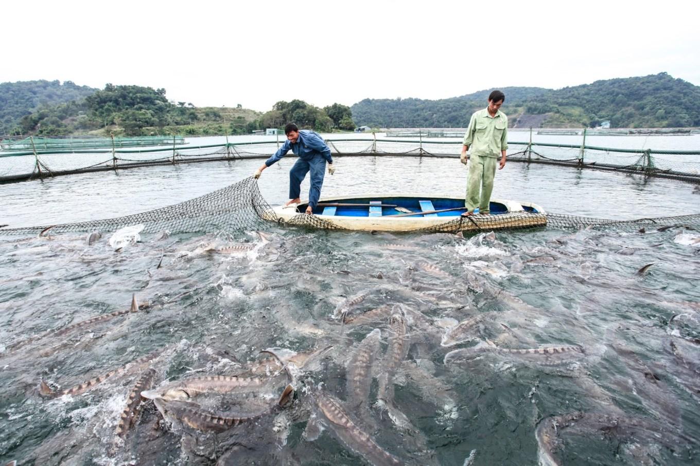 Trại cá tầm 100 tỷ đồng giữa lòng hồ thủy điện Sơn La