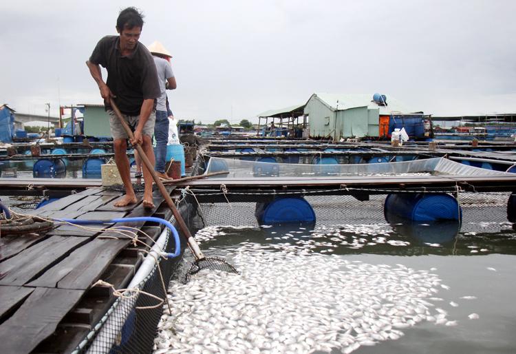 Ông Trần Văn Ba vớt cá chim chết vào sáng 4/7.Ảnh: Nguyễn Khoa.