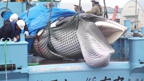 Con cá voi thu được trong chuyến đánh bắt trên vùng biển Nhật Bản ngày 1/7. Ảnh: CNN.