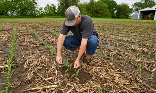 Jeff Jorgenson, một nông dân ở Shenandoah, Iowa, kiểm tra cây ngô non gieo trồng trên ruộng sau lũ hôm 29/5. Ảnh: AP.