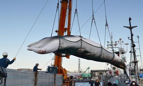 Một con cá voi được đưa về cảng biển Kushiro, Hokkaido, Nhật Bản hồi tháng 9/2017 phục vụ nghiên cứu khoa học. Ảnh: Kyodo News.