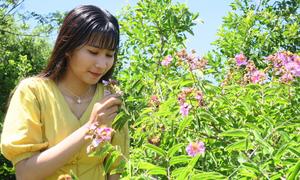 Rừng hoa bằng lăng tím trên núi Tàu ở Bình Thuận