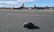 Máy bay hoãn cất cánh để chờ rùa bò qua đường băng