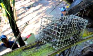 Đặt bẫy bắt chuột trên ngọn dừa ở miền Tây