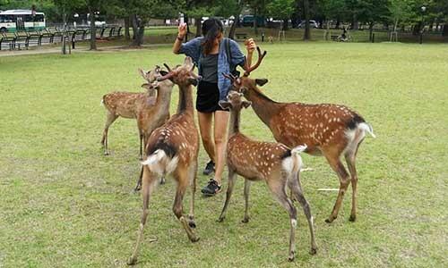 Hươu sao Nhật Bản được khách tham quan cho ăn tại công viên Nara. Ảnh: Travel Intern.