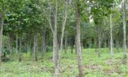 Phát hiện chất hiếm ở trầm hương bằng phương pháp thủy phân