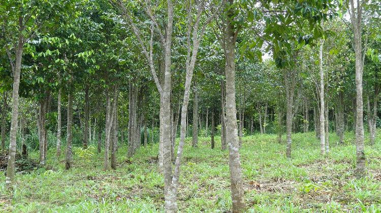 Nhiều địa phương ở Việt Nam có trồng cây trầm hương. Ảnh: ST.