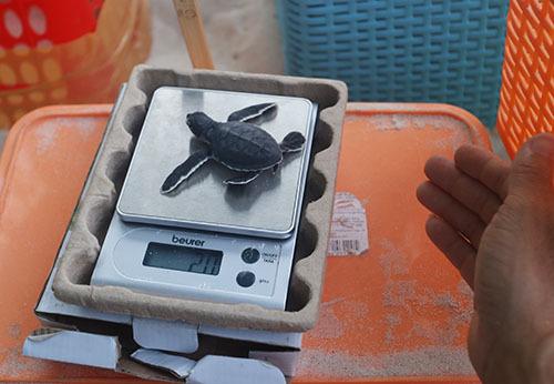 Một con rùa ra đời nặng 20 gram. Ảnh: Đắc Thành.