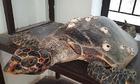 Lưới ba lớp khiến Cù Lao Chàm vắng bóng rùa
