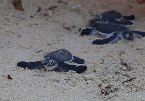 Nhữngcon rùa con bò ra biển Cù Lao Chàm. Ảnh:Đắc Thành.