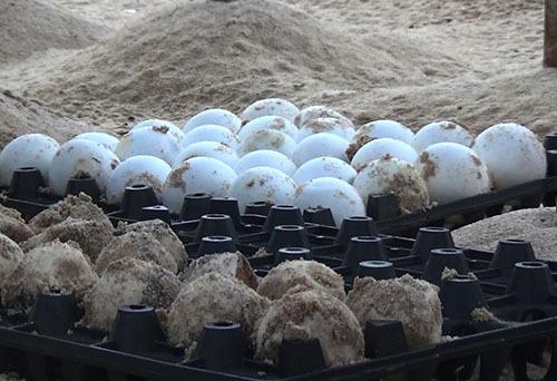 Trứng rùa lấy từ hồ ấp nở ở Côn Đảo đưa về Cù Lao Chàm. Ảnh: Đắc Thành.