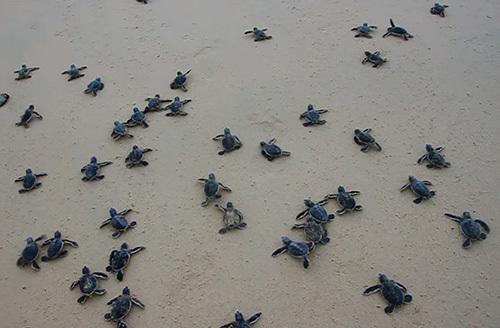 Rùa con ấp nở thả ra biển Cù Lao Chàm.