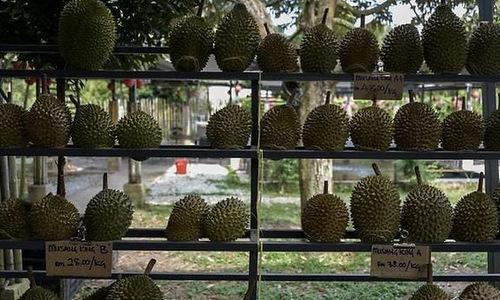 Một khu trưng bày sầu riêng tại Raub, Malaysia. Ảnh: CNA.