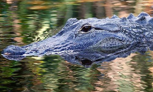 Một con cá sấu ở bang Florida, Mỹ năm2016. Ảnh: AFP