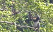 Dự án bảo tồn đàn voọc ở Quảng Nam cần 100 tỷ đồng