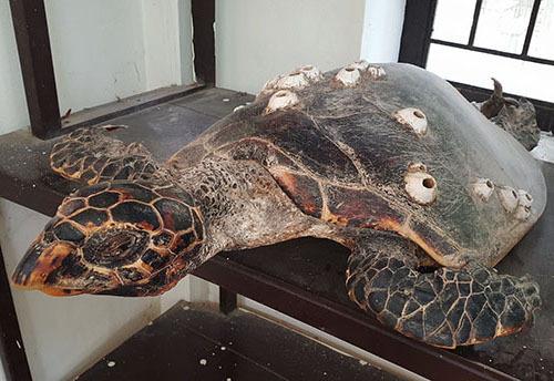 Một con rùa mắc lưới ngư dân được đưa về trưng bày tại Bảo tàng biểnCù Lao Chàm. Ảnh: Đắc Thành.